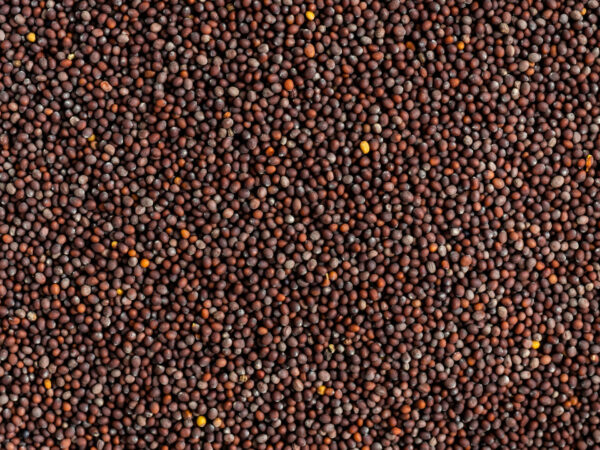 shemins black mustard seeds